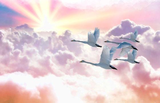 Не белая лебедка в перелет летит